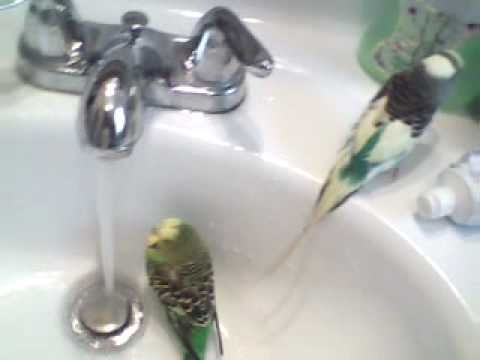 how to get your parakeet to take a bath