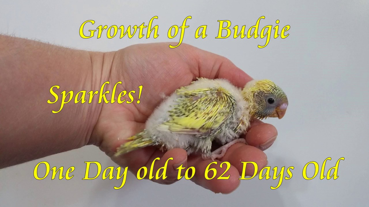 Growth of a baby budgie from day 1 to 9 weeks youtube growth of a baby budgie from day 1 to 9 weeks geenschuldenfo Choice Image