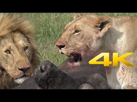 4K | African Safari Adventure in Kenya