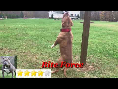 American Bully VS Pitbull Fight 2019 Matchup