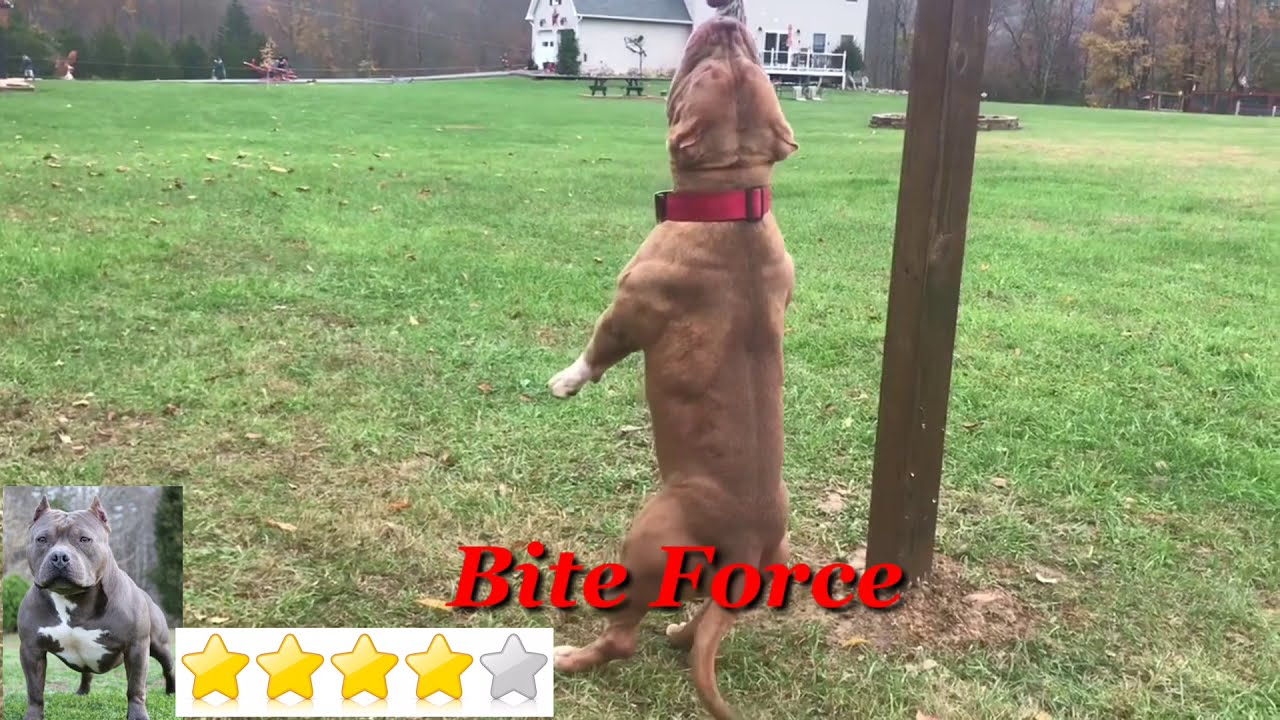 American Bully Vs Pitbull Fight 2019