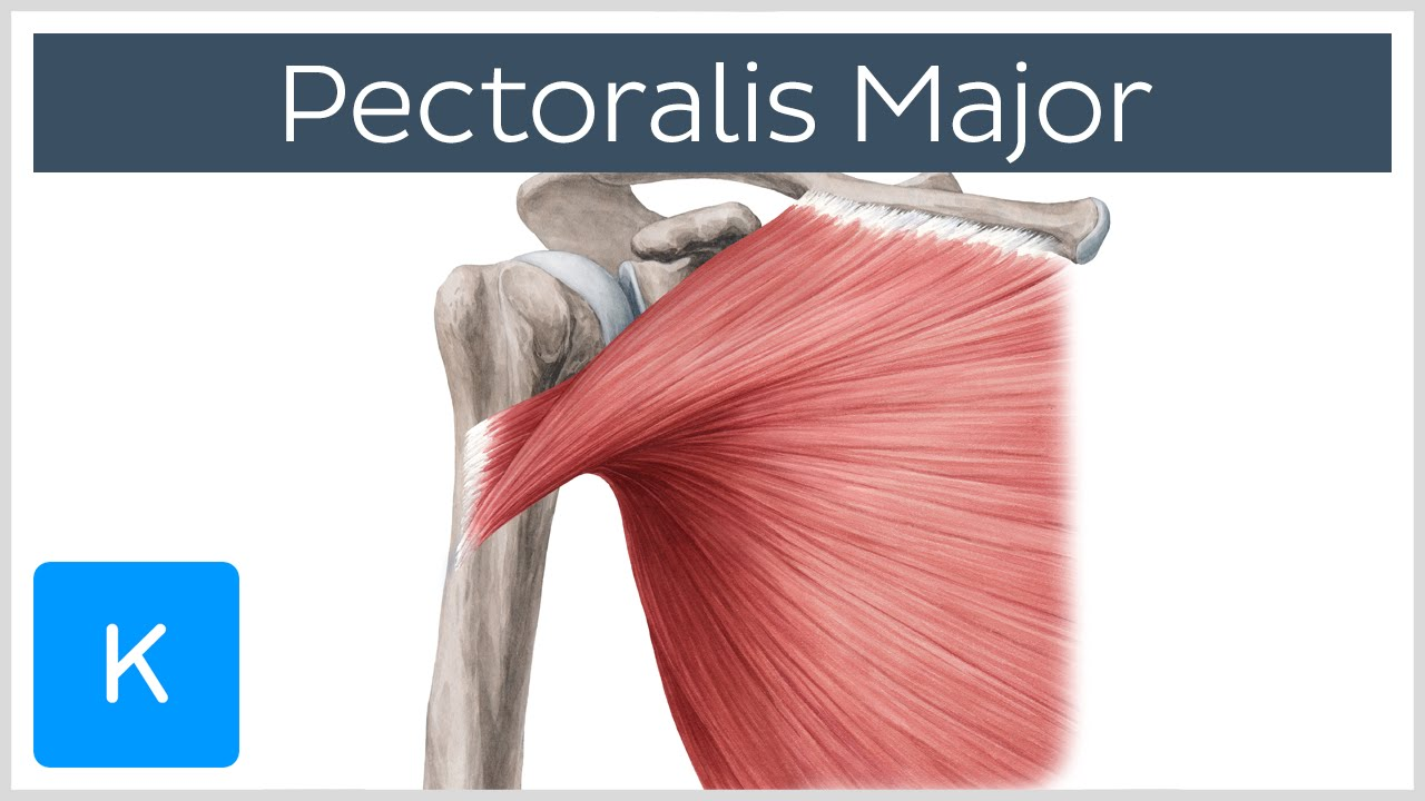 Pectoralis Major Muscle - Function& Origins - Human Anatomy | Kenhub ...