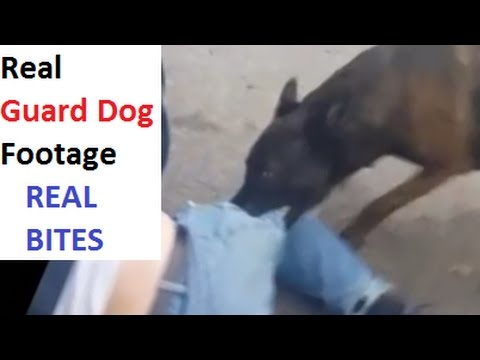 Real Guard Dog Attacks - Bull Terrier, Mastiff, Malinois (K9-1.com)