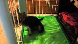 Yorkie puppy Mia peeing on