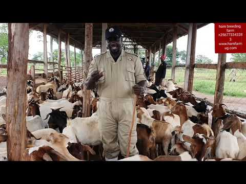 Economic comparison between hybrid goats and local  goats  by hamiisi semanda +256773343283
