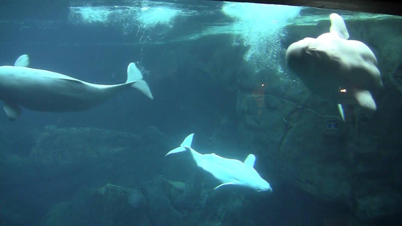 Navigation Beluga Whale