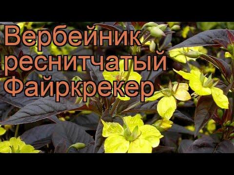 Вербейник реснитчатый Файркрекер 🌿 обзор: как сажать, рассада, саженцы вербейника Файркрекер