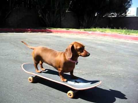 Resultado de imagen para dachshund skateboard