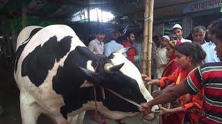 Raja babu-cow/High weight/ High price/Gabtale/Dhaka/BD/গরুর নাম ' রাজা বাবু ' গাবতলির হাট - ঢাকা।