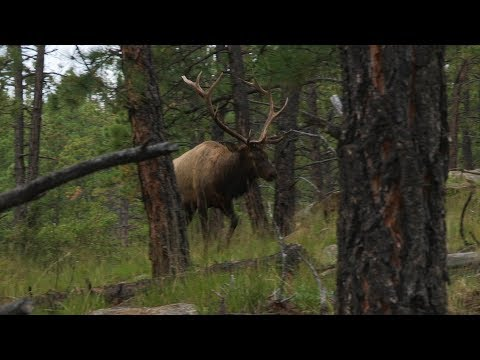 New Mexico Elk Hunt: Close Range Bulls