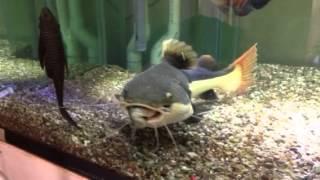 monster rtc redtail catfish feeding