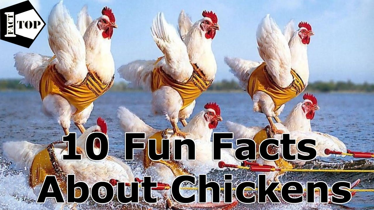 facts chickens fun