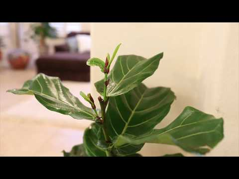 Fiddle Leaf Fig -New Leaves- 72 Hour Time-lapse