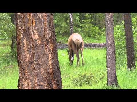Elk by Pine Bungalows Jasper
