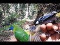 Pikat Burung Di Hutan Dapat Banyak Burung Salah Satunya Burung Kinoicekcor