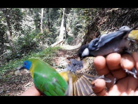 Pikat burung di hutan dapat banyak burung salah satunya burung kinoi