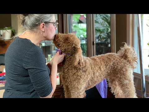 Curly Coated Dogs and Brushing