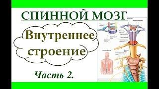 Спинной мозг. Внутреннее строение. (Ч.2) Анатомия и физиология человека.