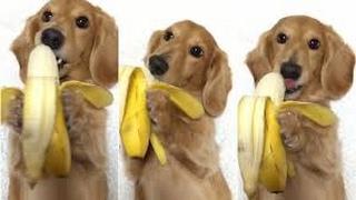 wiener dog eating banana