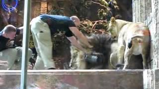 オスライオンがトレーナーを襲い、メスが仲裁に.