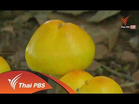 ทุกทิศทั่วไทย : ก้อยเห็ดระโงก (17 ก.ย. 57) [ HD ]