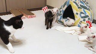 先住猫が保護子猫5匹と初対面した結果