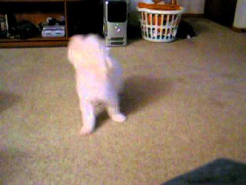 Gizmo Chasing his Tail