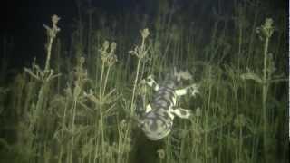 Neoteny in Tiger Salamander, Ambystoma mavortium/tigrinum, Neotenic