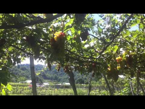 Grapes in the Philippines