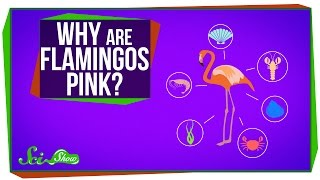 Why Are Flamingos Pink?