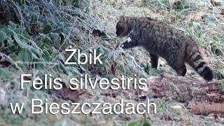 Żbik w Bieszczadach . The wildcat in Bieszczady Mountains. Felis silvestris