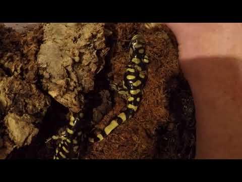 Barred tiger salamander feeding on locusts