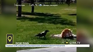 В уфимском парке назойливая ворона пыталась отнять у кошки еду