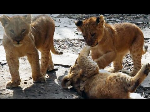 A few Weeks Old Lion Cubs Playing Like Kitties - Cute Big Cats