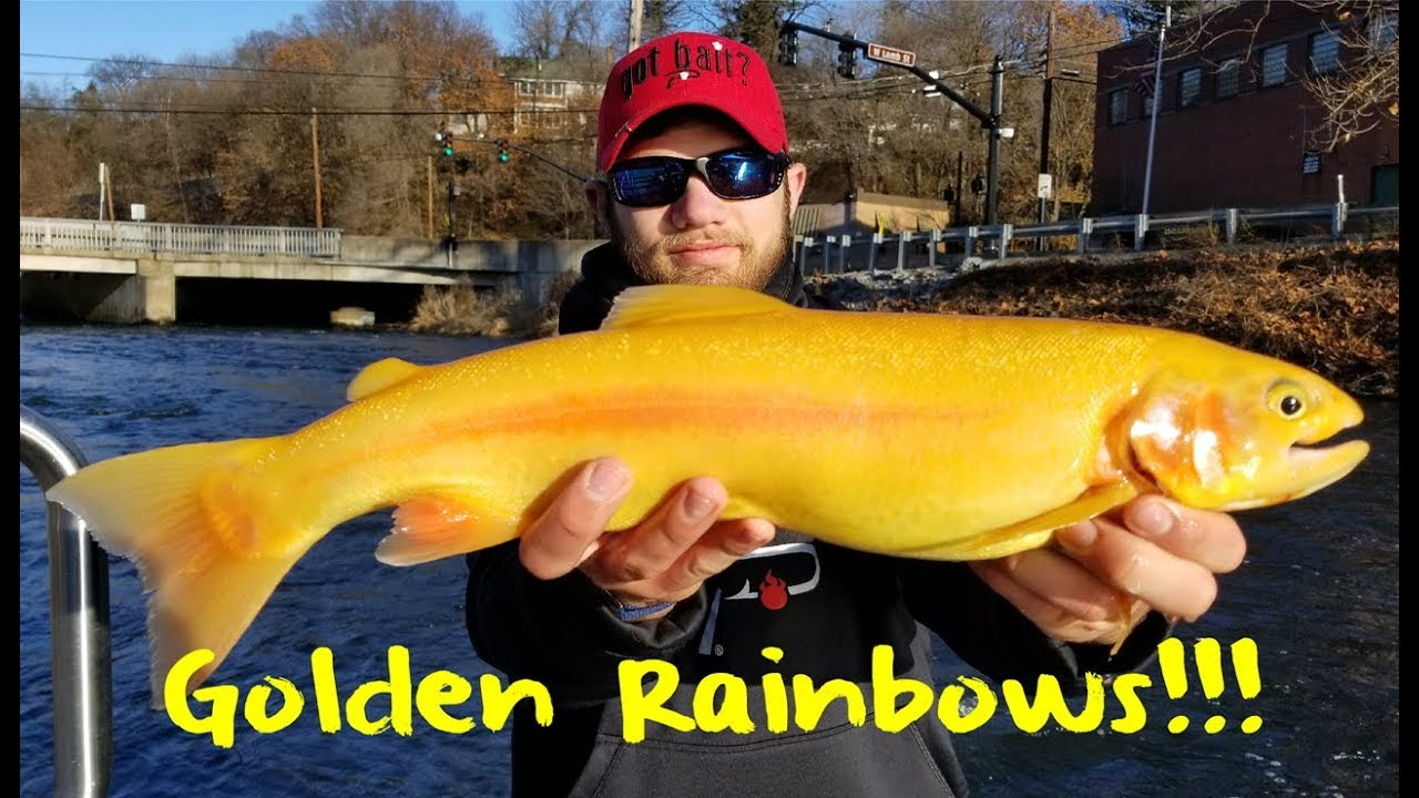 Fishing for Golden Rainbow Trout