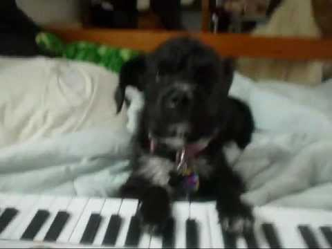 CUTEST DOG IN THE WORD PLAYS A PIANO!!!