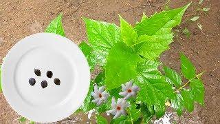 How to grow shiuli | parijat | Night-flowering Jasmine | Harshringar flower plant from seeds