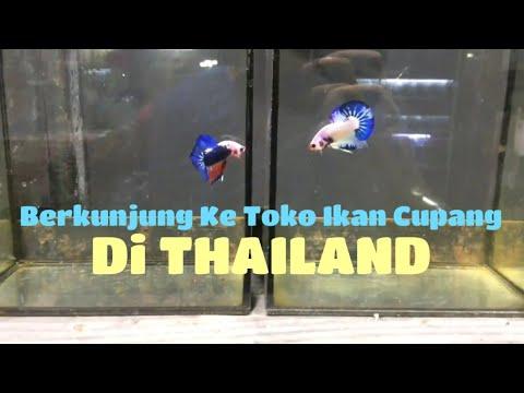 Toko Ikan Cupang Di Thailand - Betta Fish Shop In Thailand