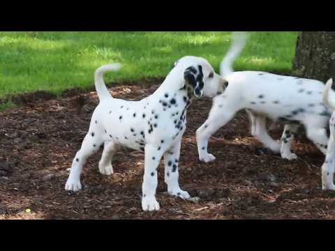 Dalmatian Puppies For Sale