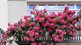 الورد الجوري البلدي مش بيزهر او ضعيف؟ شاهد الطريقة الصحيحة للزراعة والعناية والتسميد