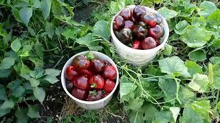 Урожай перца Ратунда