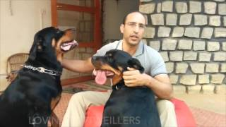Four #LovingRottweillers in Bangalore need a home