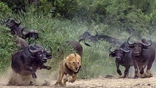 面白 - おもしろ - ライオンvsバッファロー - 最も驚くべき野生動物攻撃...