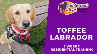 Toffee the Labrador - 3 Weeks Residential Dog Training