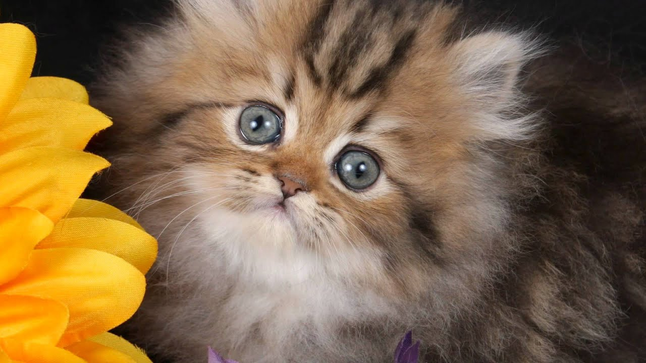 dolly worlds smallest cat youtube