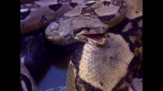 (Boa) Snake Putting Her Jaw Back Into Place ..... Amazing Footage Of Inside Snakes Mouth