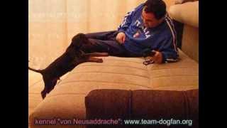 """Doberman """"z"""" Litter Von Neusaddrache Kennel - Training And Photos"""