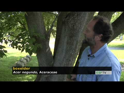 Trees with Don Leopold - boxelder