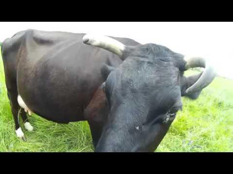 Обработка коров от мух и клещей. ЭНТОМОЗАН-С