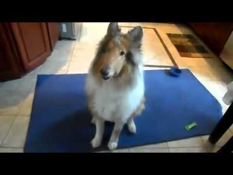 Popular Rough Collie & Collie videos